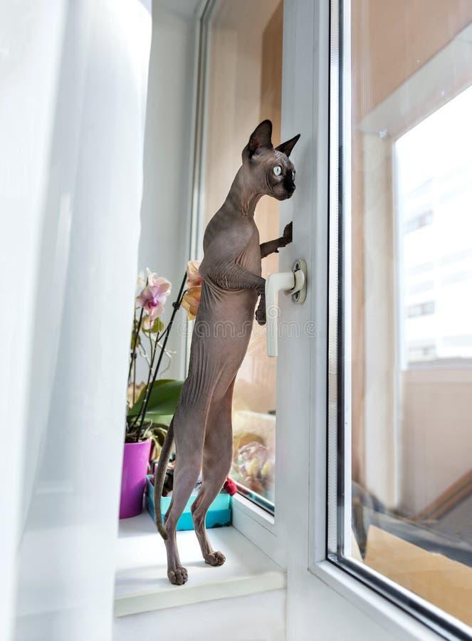 Gato de Sphynx del canadiense en las piernas traseras en el alféizar en el apartm imagenes de archivo