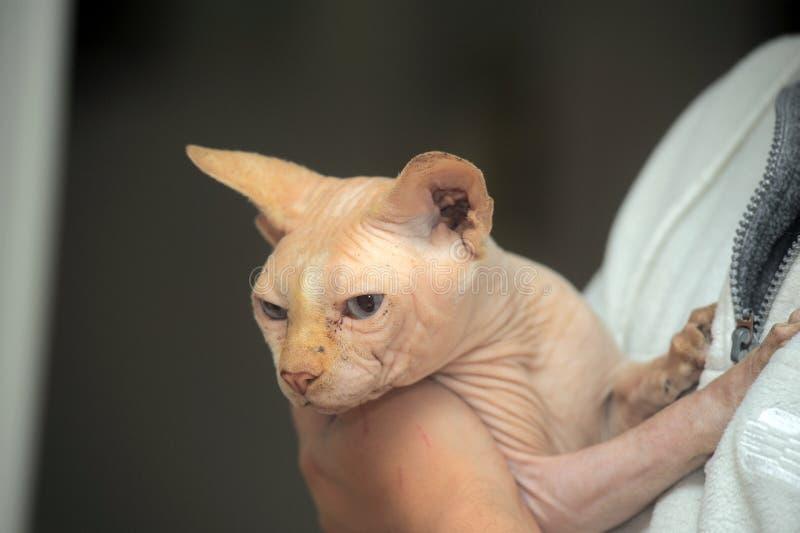Gato de Sphynx en mal estado fotos de archivo