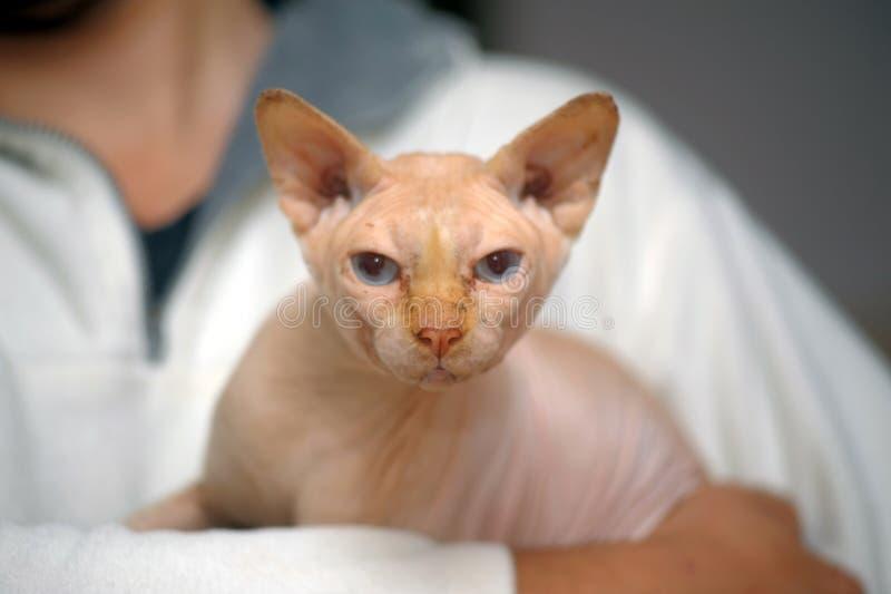 Gato de Sphynx en mal estado foto de archivo libre de regalías