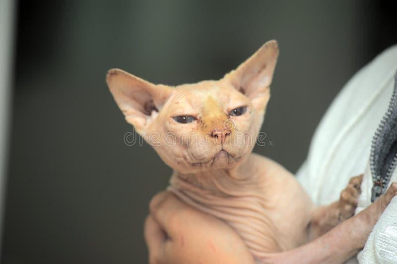 Gato de Sphynx en mal estado fotografía de archivo libre de regalías