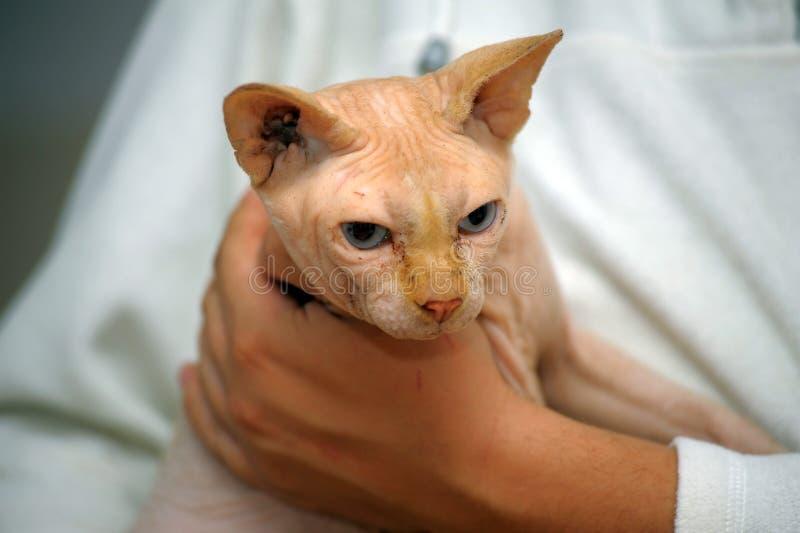 Gato de Sphynx en mal estado imagenes de archivo