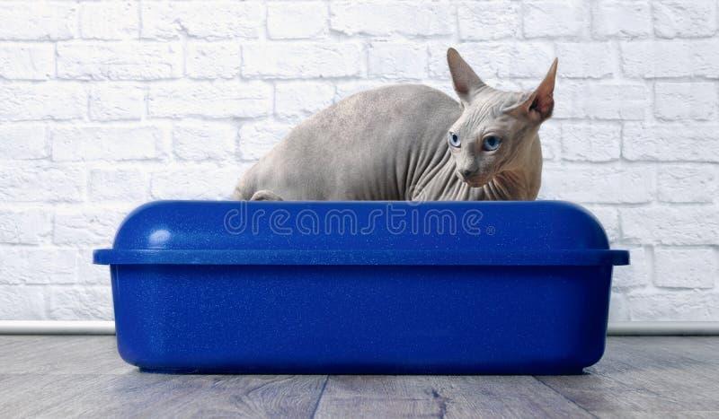 Gato de Sphynx que senta-se em uma caixa de maca azul foto de stock royalty free