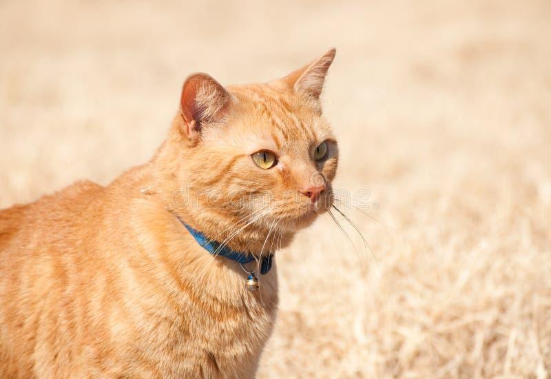 Gato de tabby alaranjado bonito fotografia de stock royalty free