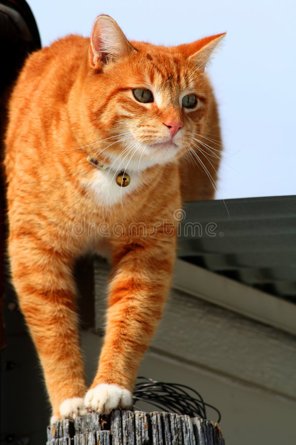 Gato de Tabby amarillo que ronda 2 imagenes de archivo