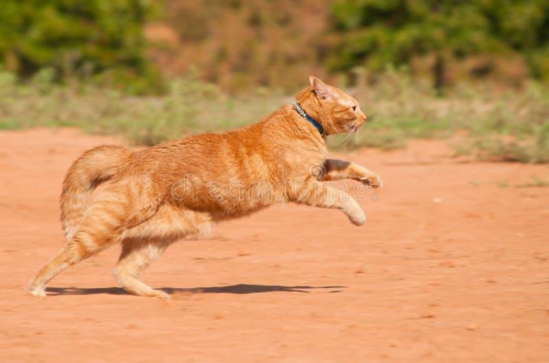 Gato de tabby anaranjado que se ejecuta a través de la arena roja imagenes de archivo