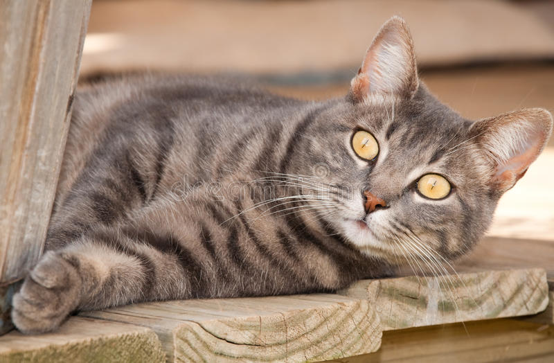 Gato de tabby azul com os olhos amarelos impressionantes foto de stock royalty free