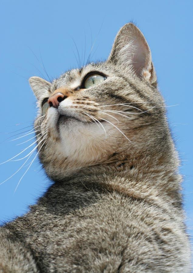 Gato de tabby cinzento bonito fotografia de stock