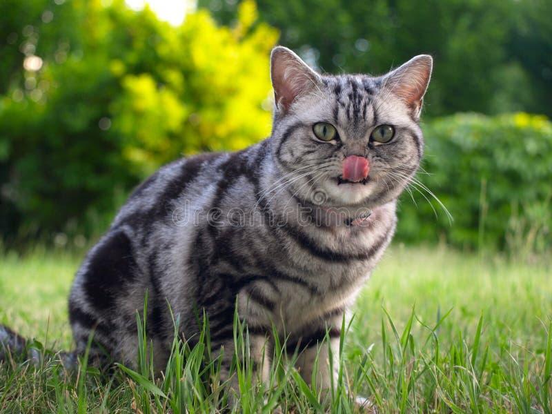 Gato de tabby de plata que se lame con la lengüeta foto de archivo