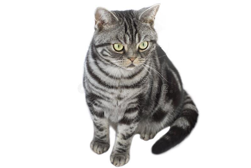 Gato de tabby del gris de plata fotografía de archivo libre de regalías