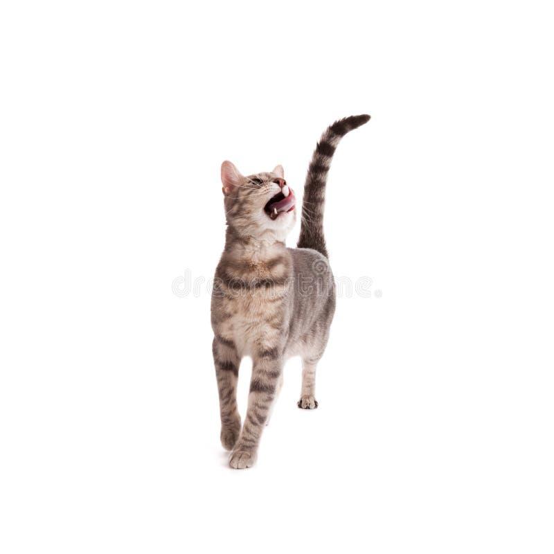 Gato de tabby hambriento que lame los labios aislados en el fondo blanco imagenes de archivo
