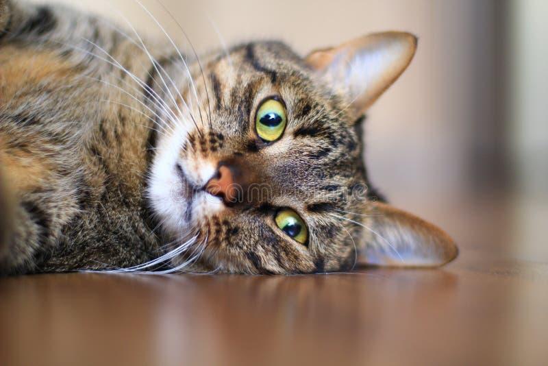 Gato de Tabby que mira la cámara fotos de archivo libres de regalías