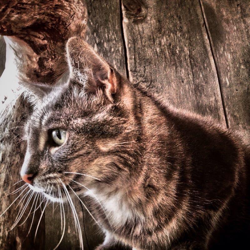 Gato de Tabby que olha a câmera fotografia de stock royalty free