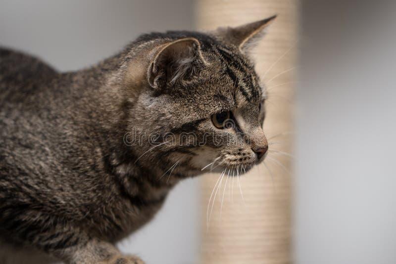 Gato de Tabby que olha a câmera foto de stock
