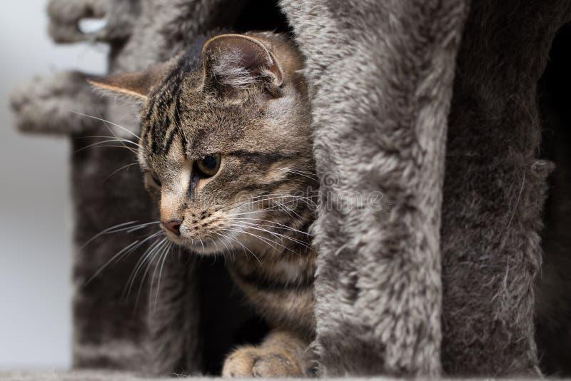 Gato de Tabby que olha a câmera fotos de stock