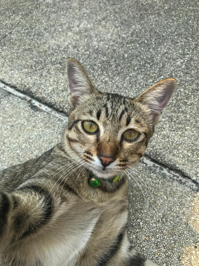 Gato de Tabby Thai que toma selfies imagens de stock