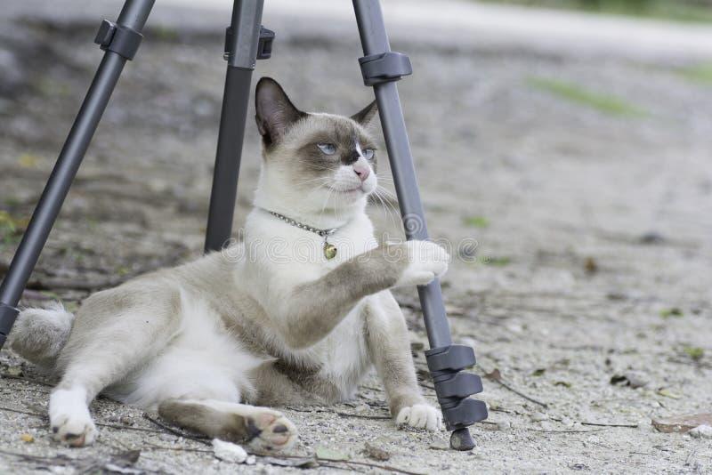 Gato de Tailandia que juega el trípode colocado en la tierra imagenes de archivo