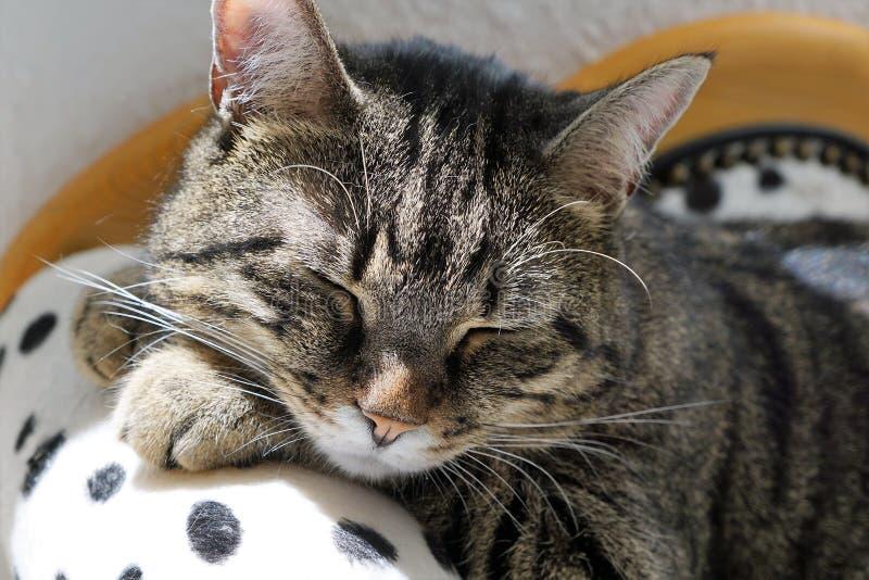 Gato de tigre cansado en un sofá dálmata fotos de archivo