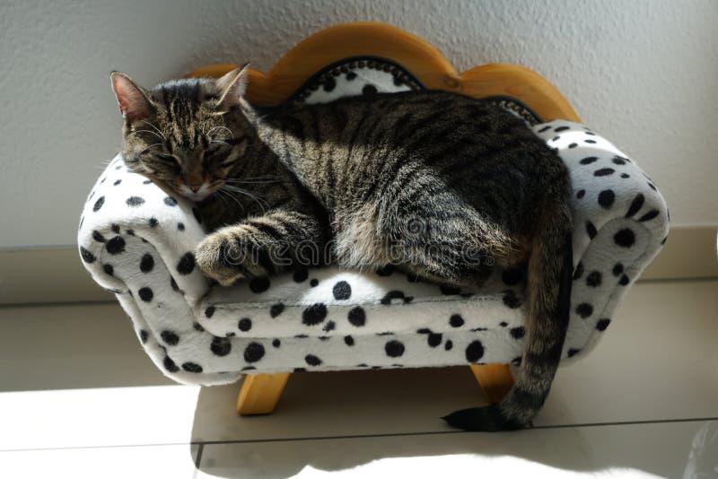 Gato de tigre cansado en un sofá dálmata foto de archivo