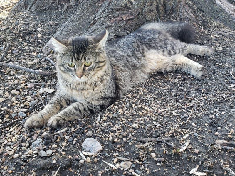 Gato de tigre repousante foto de stock royalty free