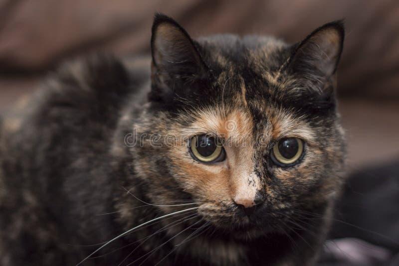 Gato de Torbi imagem de stock