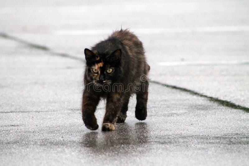 Gato de Torty no pavimento molhado imagens de stock