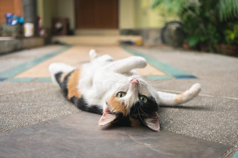 Gato de três cores que gira de face para cima ao olhar a câmera e ao encontrar-se no pavimento da vida doméstica fotografia de stock