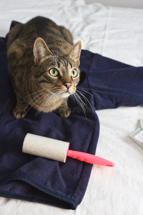 Gato de vista culpado que senta-se em um casaco azul imagem de stock