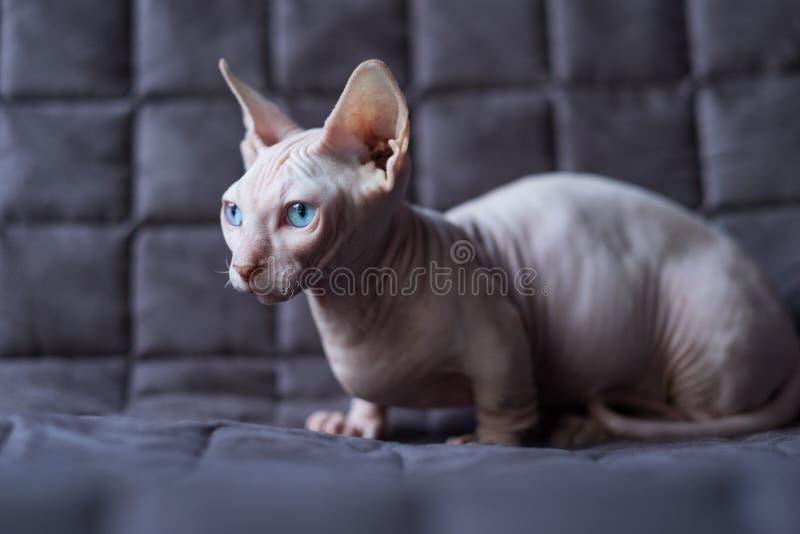 Gato del Bambino fotografía de archivo
