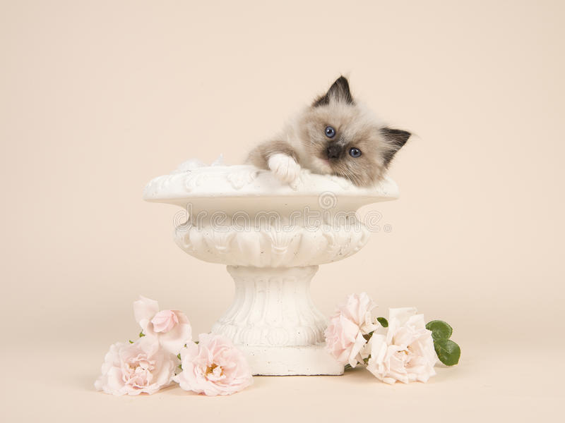 Gato del bebé de la muñeca de trapo con los ojos azules que cuelgan sobre el borde de una maceta con rosas blancas y un fondo gri imágenes de archivo libres de regalías