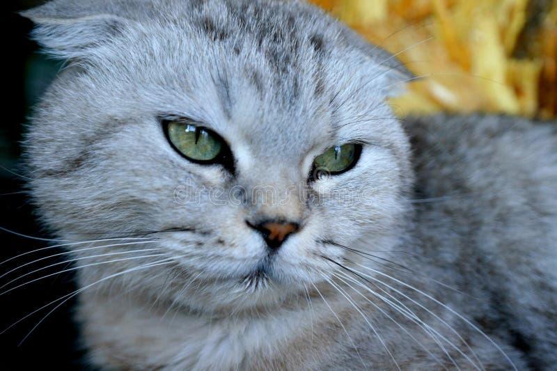 Gato del doblez de Gray Scottish, ojos verdes imagen de archivo libre de regalías