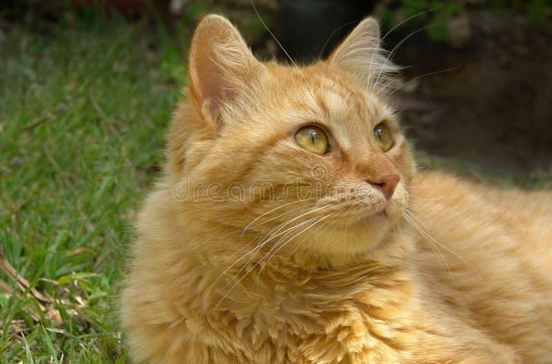 Gato del jengibre imagen de archivo