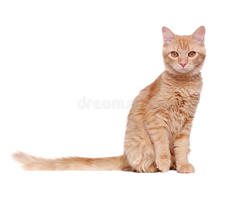 Gato del jengibre con una cola larga en un fondo blanco foto de archivo libre de regalías