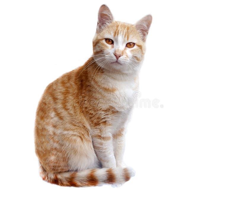 gato del jengibre en el fondo blanco fotos de archivo