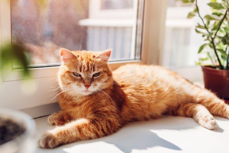 Gato del jengibre que miente en travesaño de la ventana en casa por la mañana Animal doméstico que goza del sol fotos de archivo