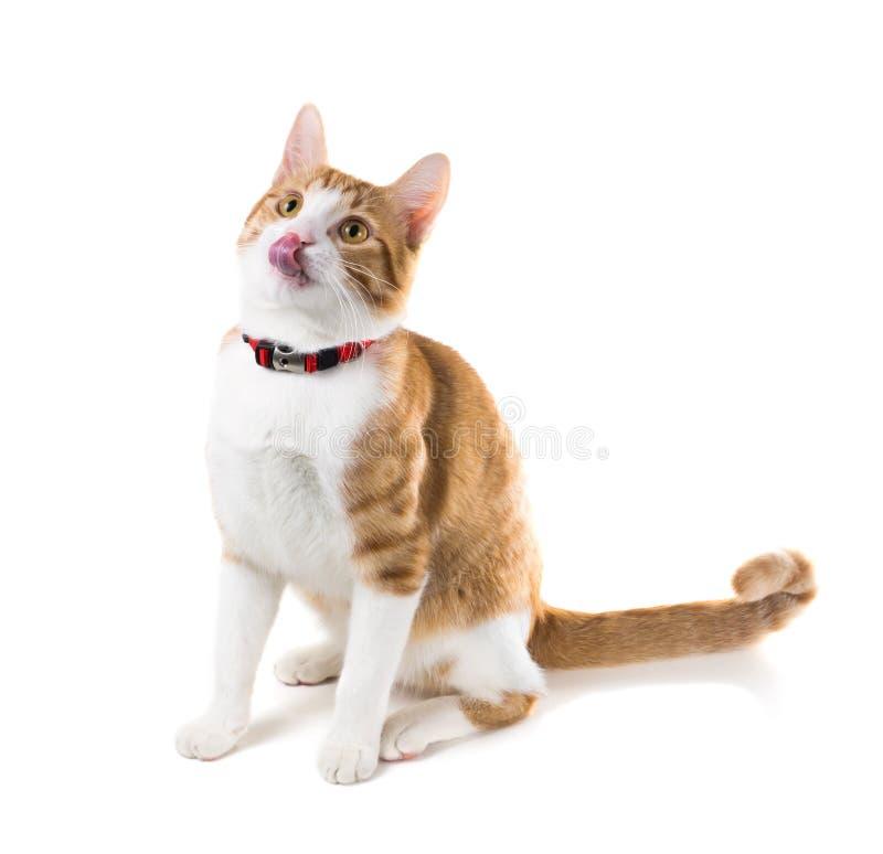 Gato del jengibre que se sienta en un cuello rojo y lamido foto de archivo libre de regalías