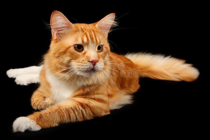 gato del Maine-coon fotos de archivo libres de regalías
