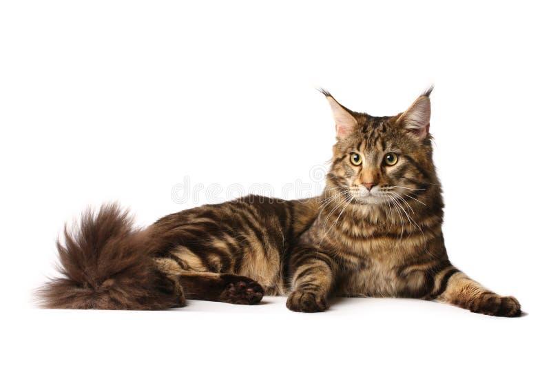gato del Maine-coon fotografía de archivo