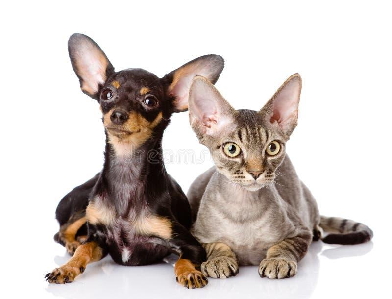 Gato del rex de Devon y perrito de juguete-Terrier junto fotografía de archivo libre de regalías