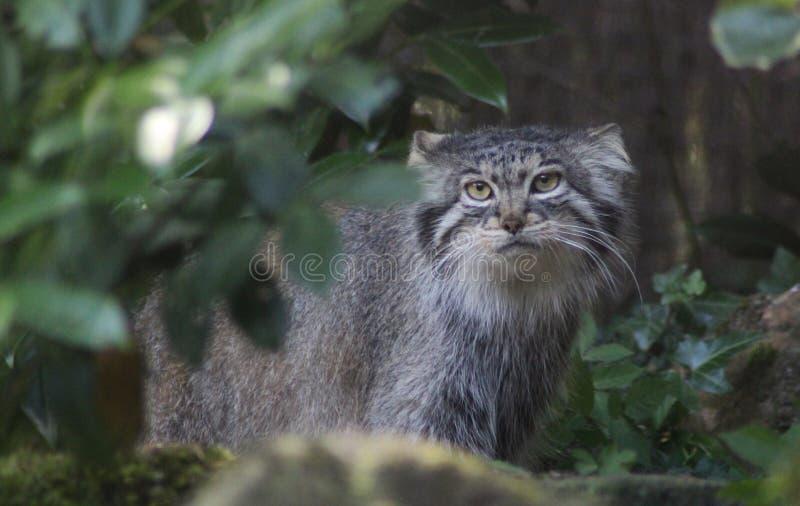 Gato del ` s de Pallas fotografía de archivo