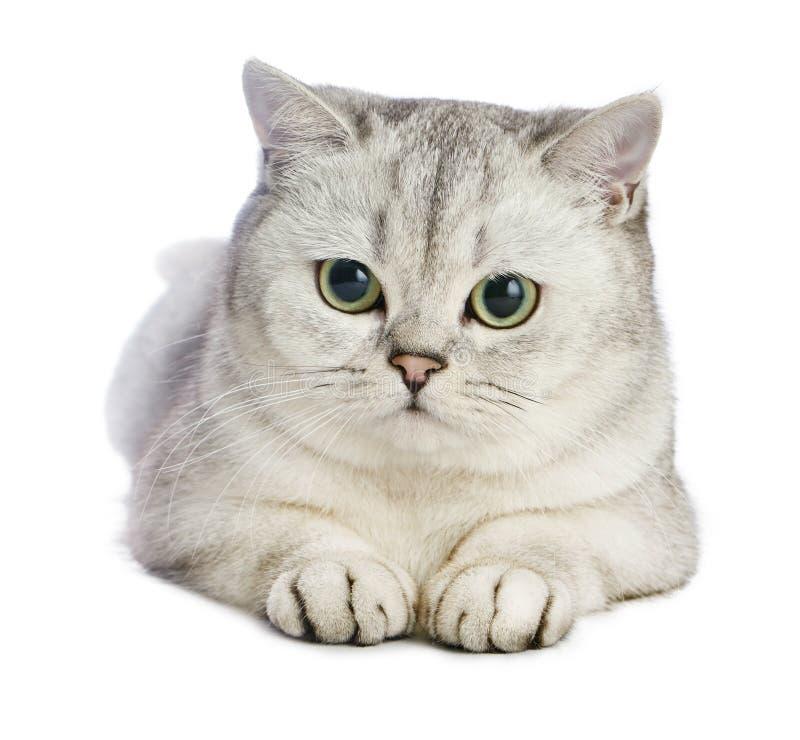 Gato del shorthair de Gray British imagen de archivo libre de regalías