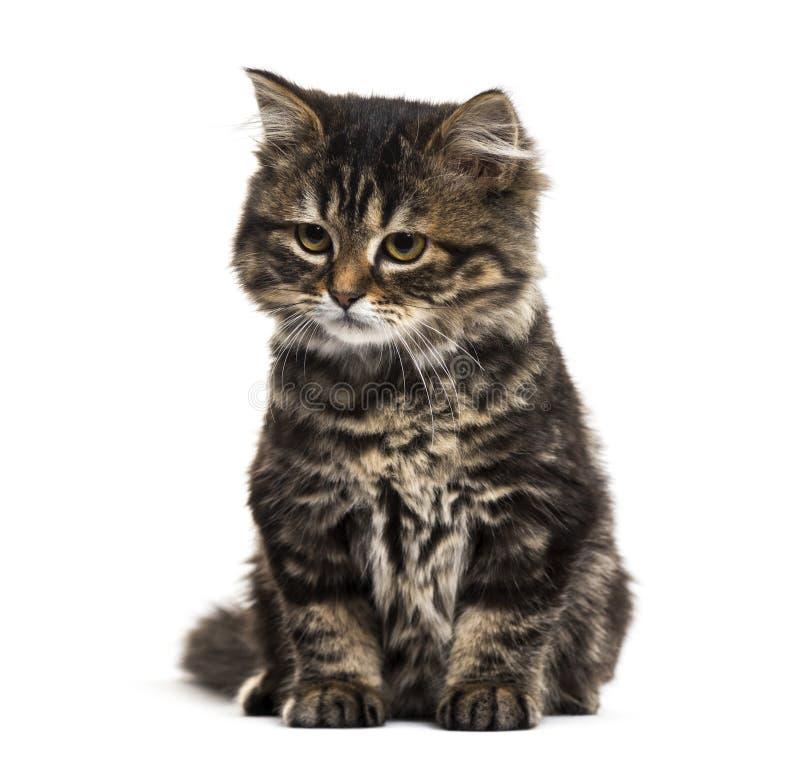 Gato descascado da misturado-raça do gatinho que senta-se e que olha para baixo, isolat fotografia de stock