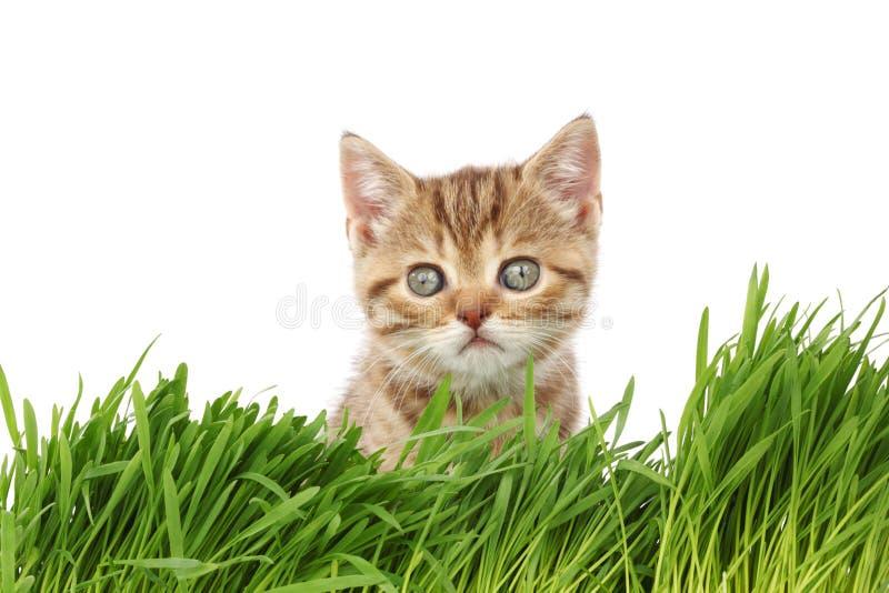 Gato detrás de la hierba imágenes de archivo libres de regalías