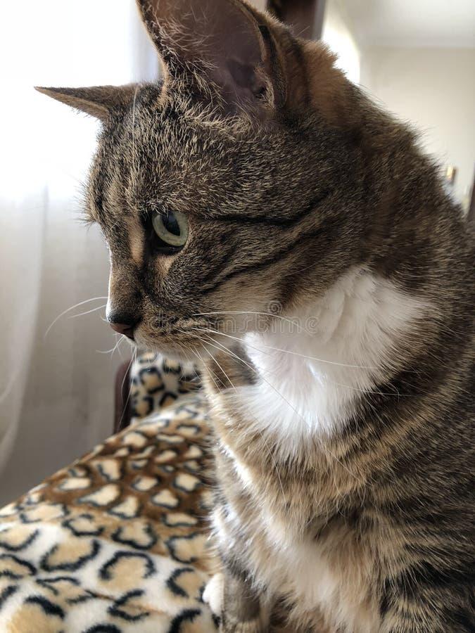 Gato diab?tico masculino lindo con los ojos verdes foto de archivo