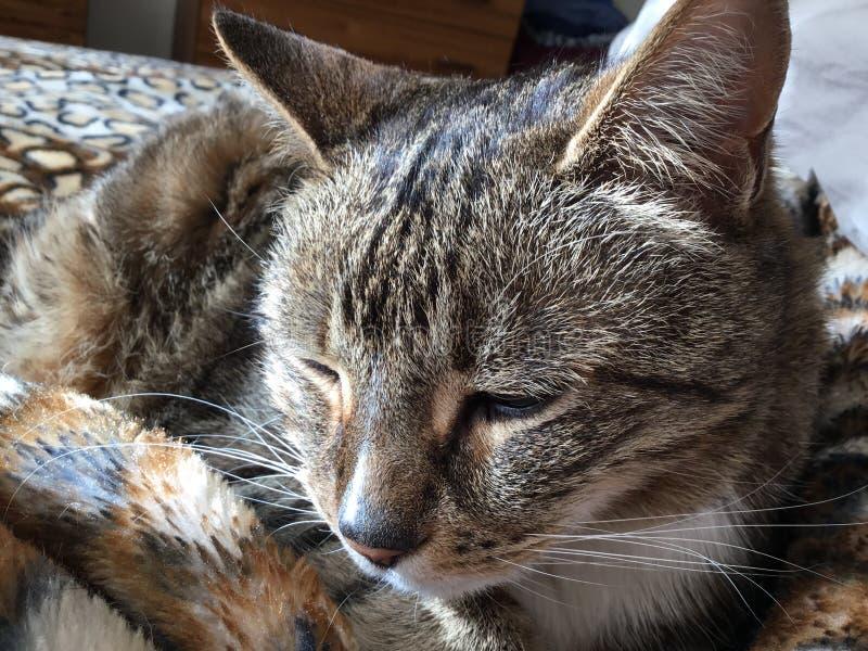 Gato diab?tico masculino lindo con los ojos verdes fotografía de archivo