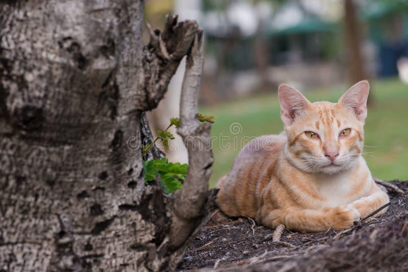 Gato disperso alaranjado fotos de stock