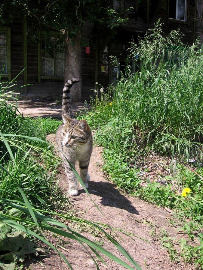 Gato disperso cinzento que anda na estrada no verão perto da casa de madeira velha na grama fotos de stock royalty free