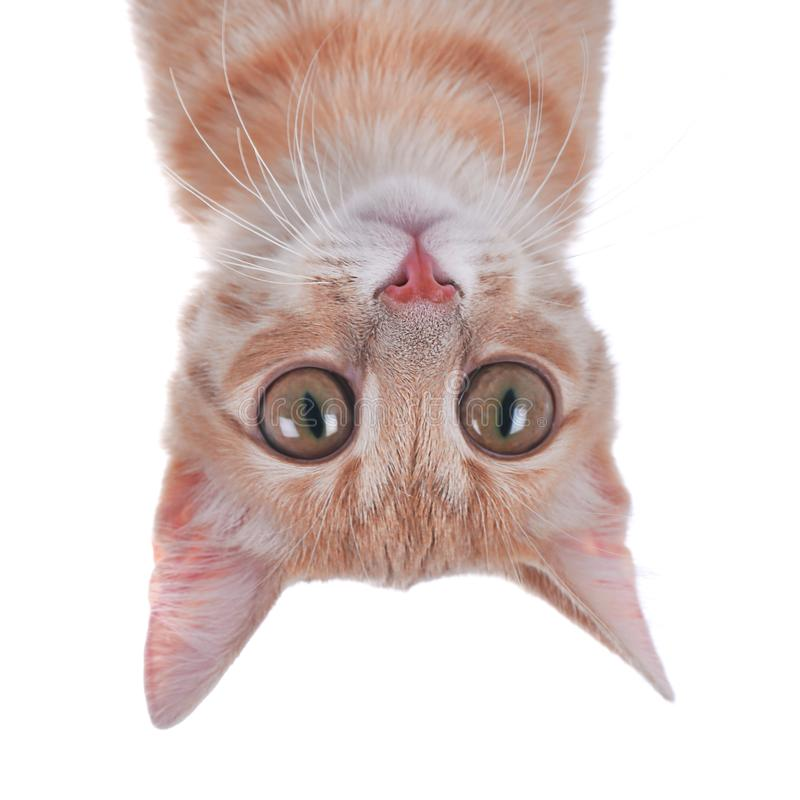Gato divertido con los ojos grandes en el fondo blanco fotos de archivo libres de regalías