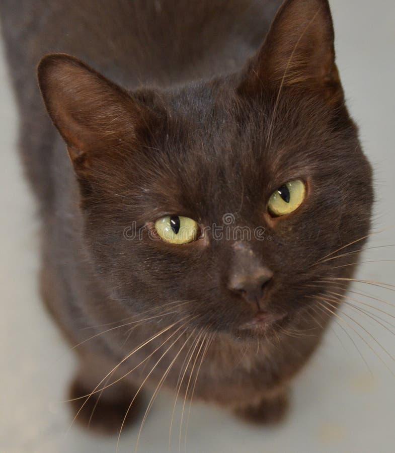 Gato do abrigo - vaquinha preta de Shorthair imagens de stock royalty free