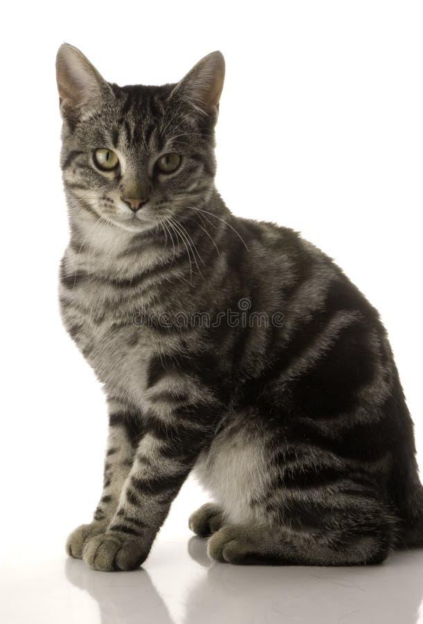 Gato do animal de estimação fotografia de stock royalty free