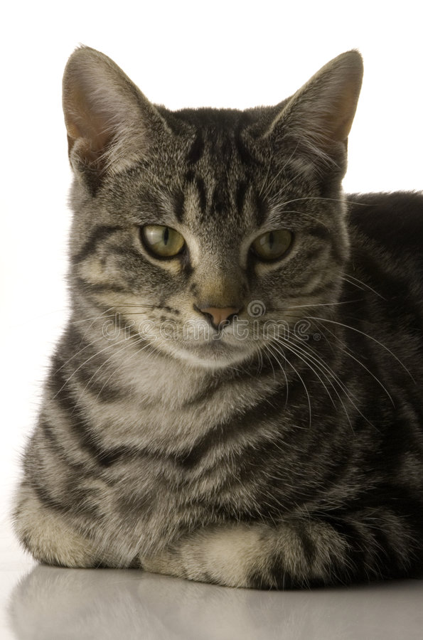 Gato do animal de estimação imagem de stock royalty free